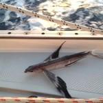 Fliegender Fisch an Bord - 17.01.2014