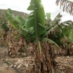 Bananenplantage im Norden Gran Canarias