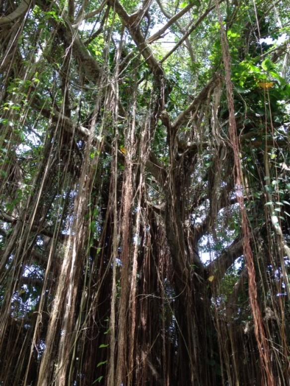 Bearded Fig Tree - Bärtiger Feigenbaum