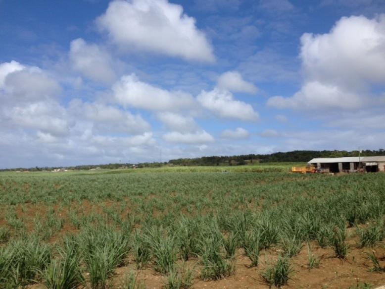 Junge Zuckerrohrpflanzen für die Rumherstellung