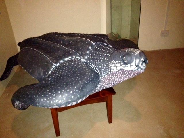 Lederschildkröte (Dermochelys coriacea)